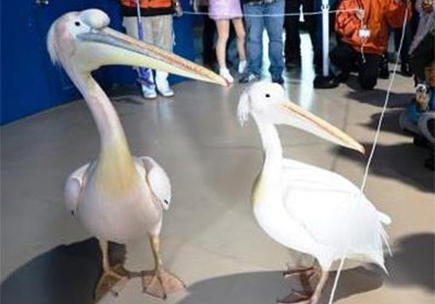 Pelican Indoor Walk